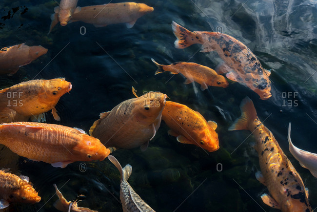 Many koi fish swimming at holy Water Temple in Bali, Indonesia