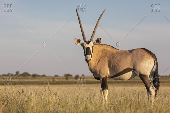 Botswana, Kgalagadi Transfrontier National Park, Mabuasehube Game Reserve, Gemsbok looking, Oryx gazella