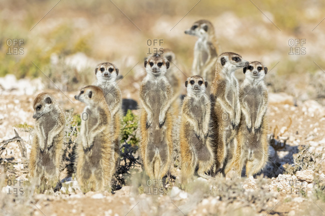 Botswana, Kgalagadi Transfrontier National Park, Mabuasehube Game Reserve, Meerkats, Suricata suricatta
