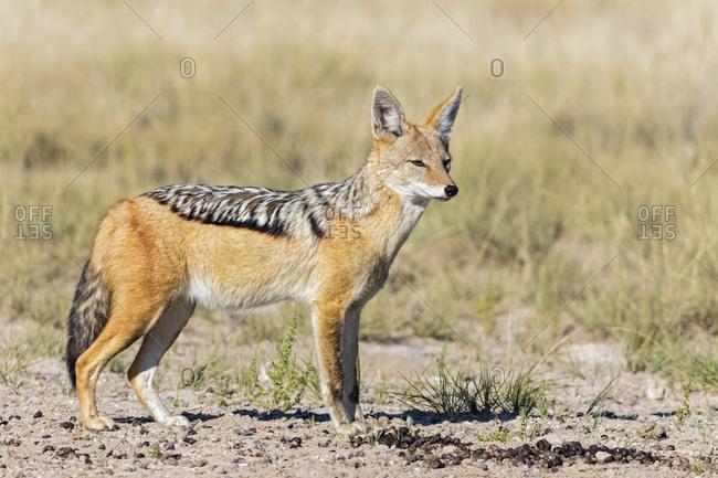 Botswana, Kgalagadi Transfrontier National Park, Mabuasehube Game Reserve, black, backed jackal, Canis mesomelas