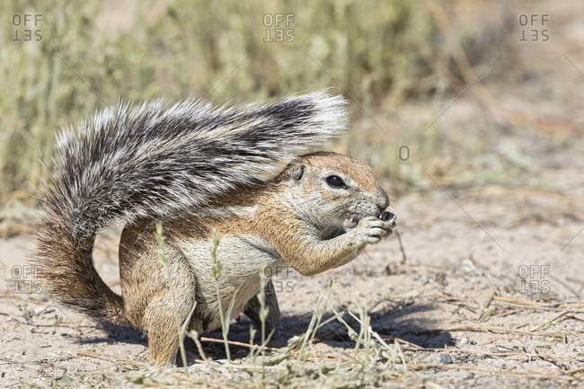 Botswana, Kgalagadi Transfrontier National Park, Mabuasehube Game Reserve, African ground squirrel, Xerus inauris