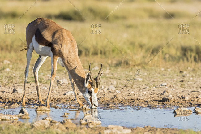Botswana, Kgalagadi Transfrontier National Park, Mabuasehube Game Reserve, Springbok drinking at waterhole, Antidorcas marsupialis