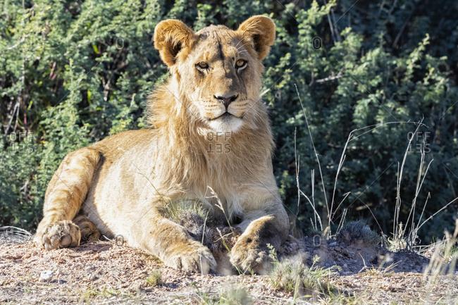 Botswana, Kgalagadi Transfrontier Park, portrait of young lion
