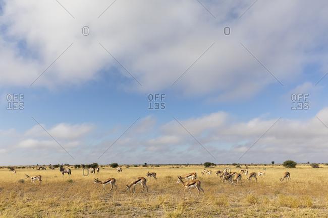Botswana, Kalahari, Central Kalahari Game Reserve, Gemsboks, Oryx gazella