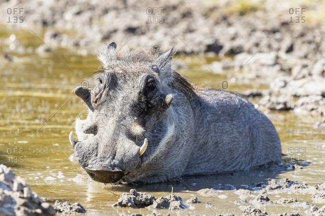 Botswana, Kalahari, Central Kalahari Game Reserve, Warthog, Phacochoerus africanus
