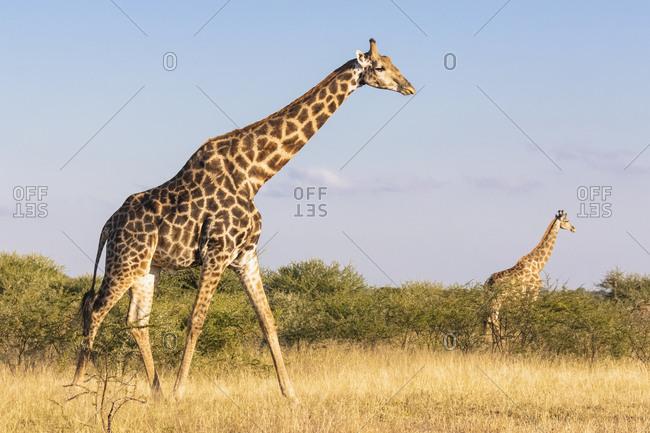 Botswana, Kalahari, Central Kalahari Game Reserve, Giraffes walking, Giraffa camelopardalis
