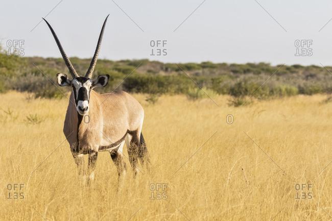 Botswana, Kalahari, Central Kalahari Game Reserve, Kudu, Tragelaphus strepsiceros