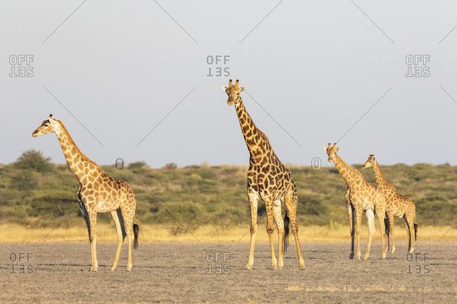 Botswana, Kalahari, Central Kalahari Game Reserve,