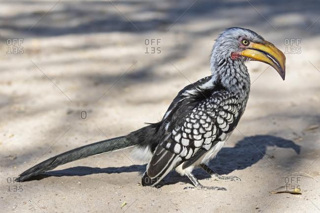 Botswana, Kalahari, Central Kalahari Game Reserve, Yellow, billed hornbill, Tockus flavirostris