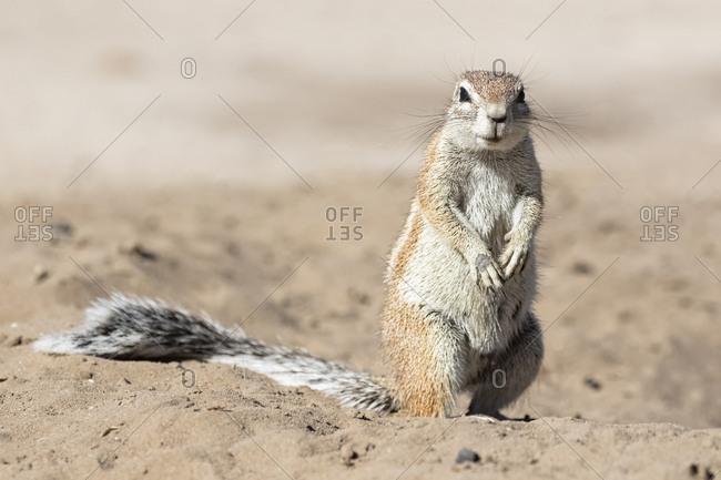 Botswana, Kalahari, Central Kalahari Game Reserve, Unstriped ground squirrel, Xerus rutilus