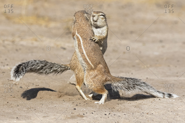 Botswana, Kalahari, Central Kalahari Game Reserve, Unstriped ground squirrels, Xerus rutilus