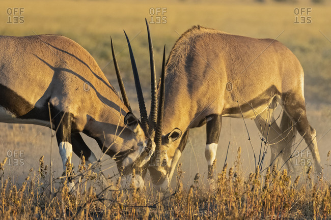 Botswana, Kalahari, Central Kalahari Game Reserve, Greater Kudus fighting, Tragelaphus strepsiceros