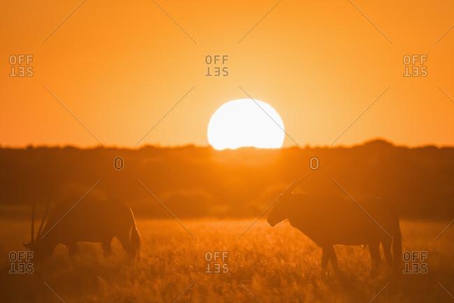 Botswana, Kalahari, Central Kalahari Game Reserve, Greater Kudus at sunset, Tragelaphus strepsiceros