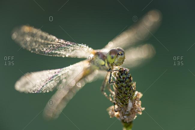 Common darter firefly, Sympetrum striolatum, hovering over flower