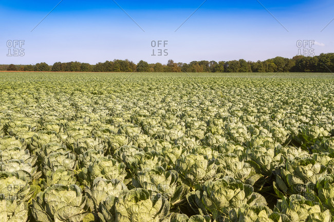 United KIngdom, East Lothian, field of brussels sprouts, Brassica oleracea