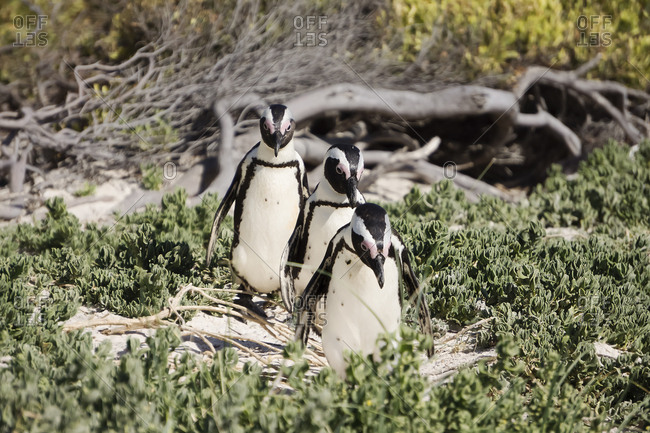 Africa, Simon's Town, Boulders Beach, Brillenpinguin, Three black, footed penguins walking, Spheniscus demersus