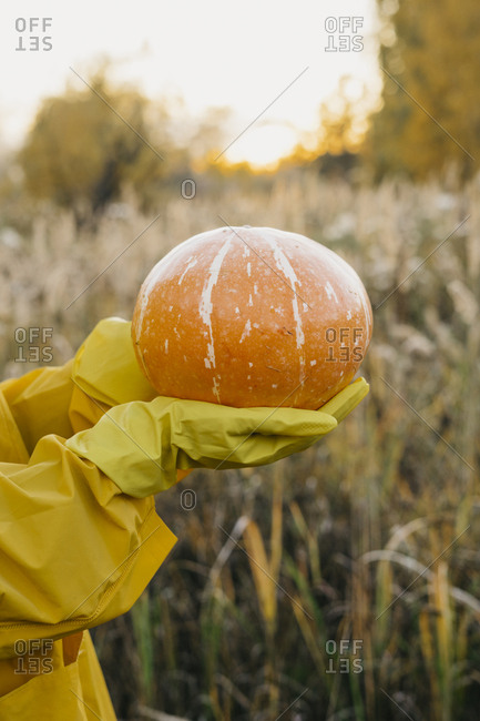 Person with bright yellow gloves holding a pumpkin in the field