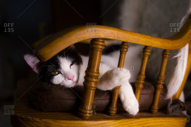 Cat lounging on a chair while looking at the camera