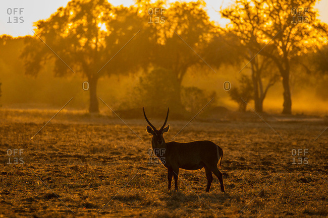 Male Waterbuck (Kobus ellipsiprymnus), Mana Pools, Zimbabwe