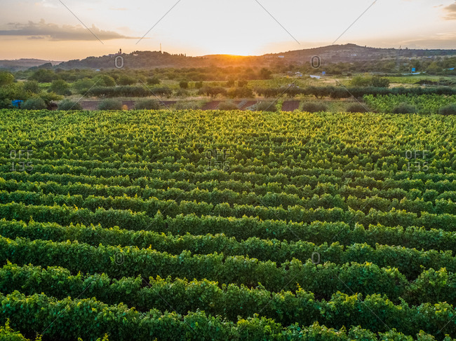 Aerial view of vineyards in Nerezisca dalmatian village at sunset, Brac Island, Croatia