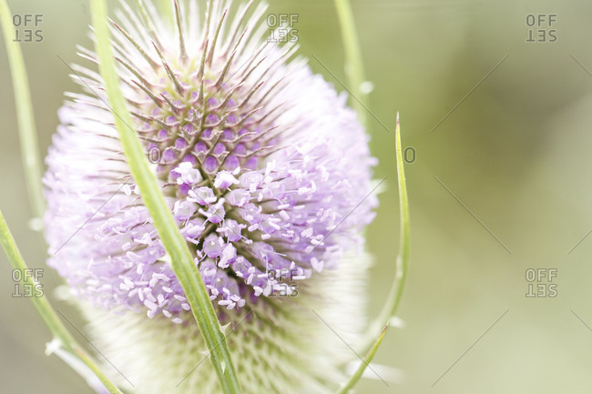 The wild teasel, (Dipsacus fullonum), a special plant in the garden