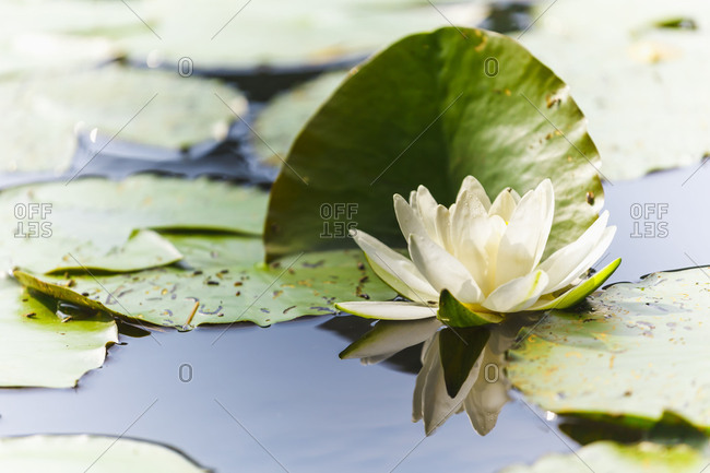 A white water lily blossom