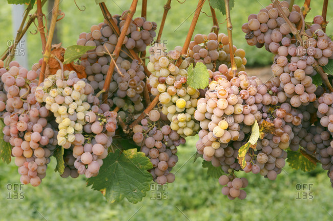 Grapes on the vine just before harvest, close-up