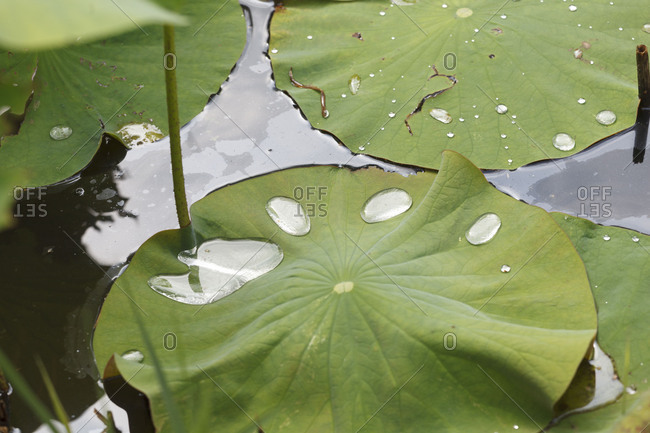 Leaves of lotus flowers with water droplets, lotus effect, fascinating water plants in the garden pond