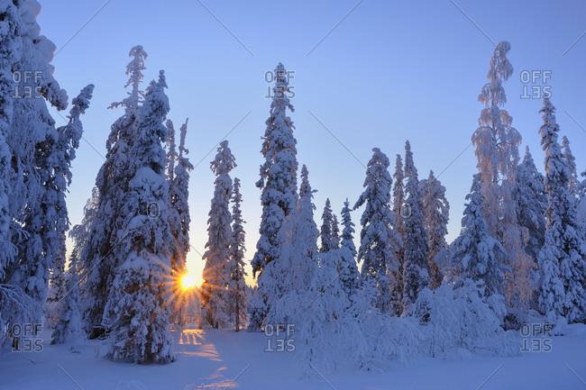 Snow covered trees in winter, R_nni, Kuusamo, Nordoesterbotten, Pohjois Pohjanmaa, Finland, Suomi