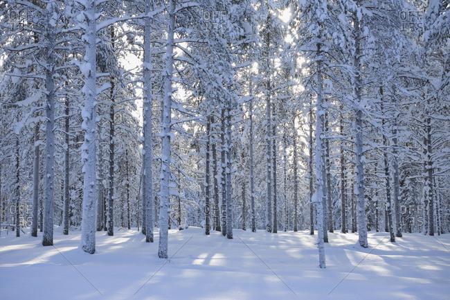 Snow covered forest in winter, Kuloharju, Kuusamo, Nordoesterbotten, Pohjois Pohjanmaa, Finland, Suomi