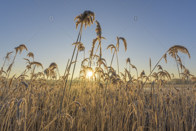 Reeds with hoarfrost in winter at sunrise, Reinheimer Teich, Reinheim, Hesse, Germany