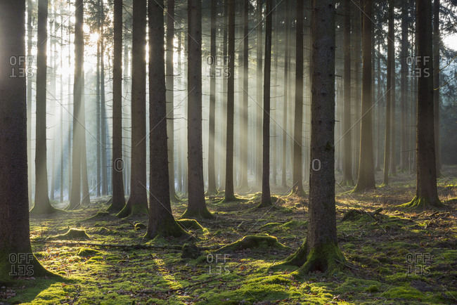 Coniferous forest with sun on misty morning, Wagenschwend, Odenwald, Baden-Wurttemberg, Germany
