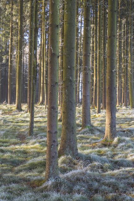 Coniferous forest with hoarfrost in winter, Wagenschwend, Odenwald, Baden-Wurttemberg, Germany