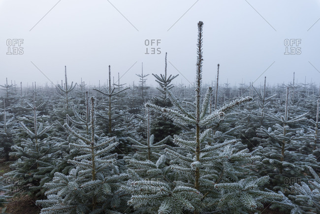 Christmas tree plantation in winter, Wagenschwend, Odenwald, Baden-Wurttemberg, Germany