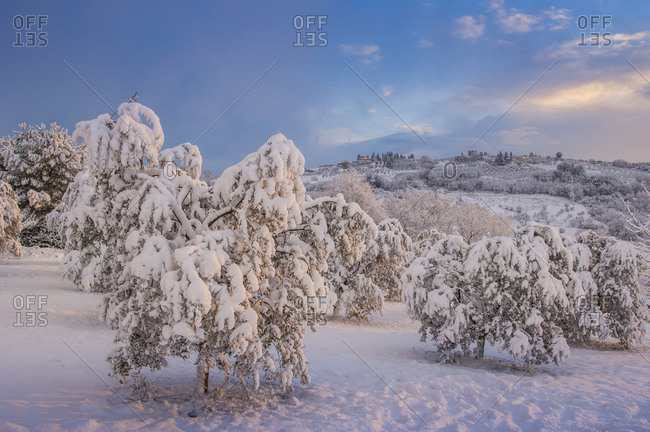 Italy, Tuscany, Certaldo, snow covered olive trees in Lucardo is a village