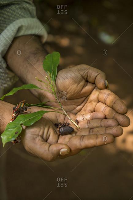 Sri Lanka, Eastern Region, Old Villa Spice & Herbal Garden, near Matale, man holding spice in his hands