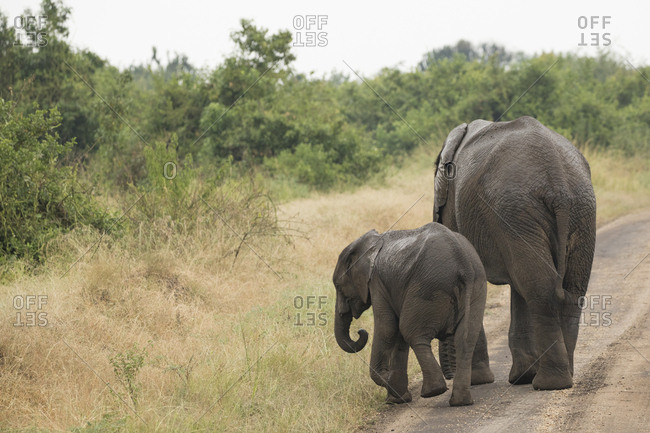 Mother and Juvenile Young African Bush Elephant Walking at Roadside at Queen Elizabeth National Park,  Ishasha Sector, Uganda Africa