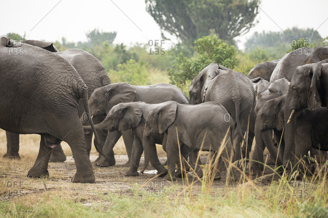 Herd of African Bush Elephants in Queen Elizabeth National Park,  Ishasha Sector, Uganda Africa