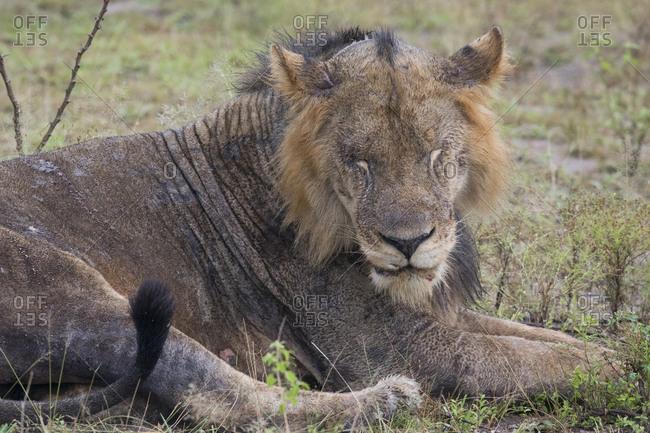 Juvenile Lion Resting in Sun in Uganda
