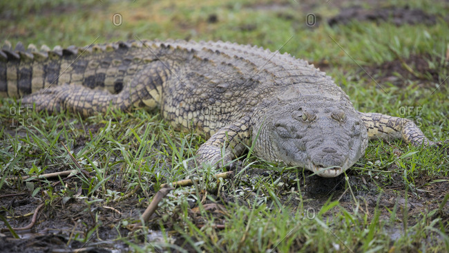 Nile Crocodile on the Hunt in Uganda