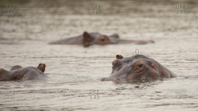 Three Hipopotimus Resting in Water in Uganda