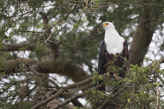 African Fish Eagle Perches in Tree to Hunt in Uganda
