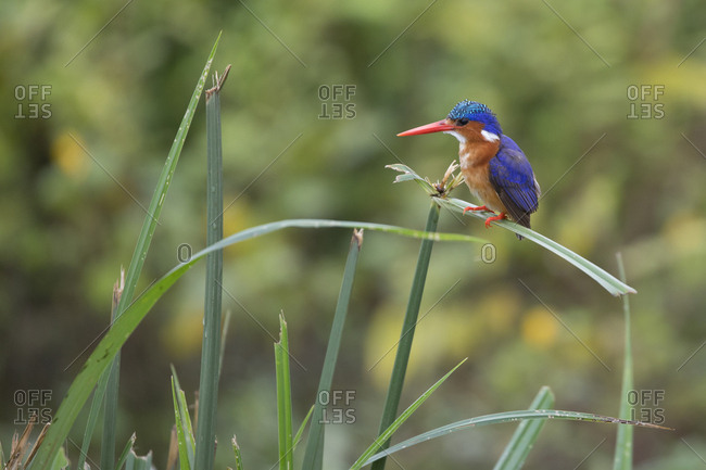 Malachite Kingfisher Sits Along Water's Edge in Uganda