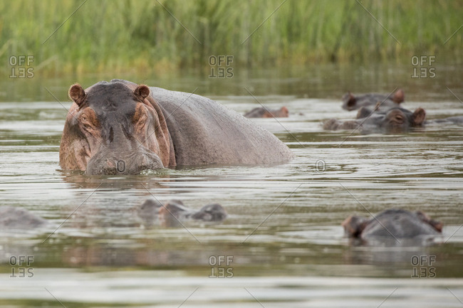 Hipoptimus Herd Resting in Water in Uganda