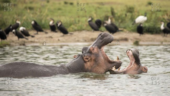 Hiopoptimus Fight for Territory in Uganda Refuge