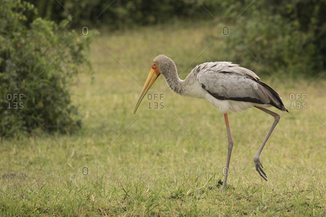 Yellow-billed Stork Eyes Grass for Next Catch in Uganda