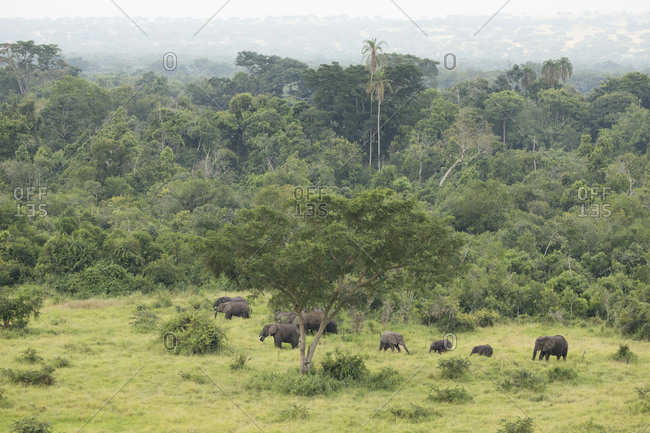 Herd of African Bush Elephant in Queen Elizabeth National Park, Uganda