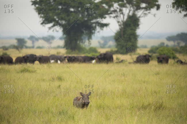 Lone Warthog Keeps Watch by Herd of African Buffalo on Plains in Uganda