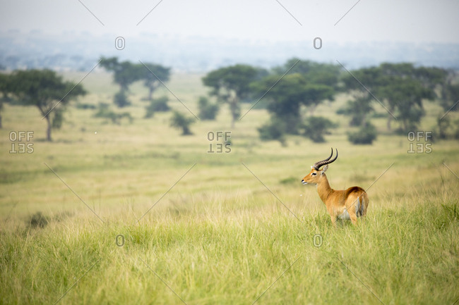 Male African Thomson Gazelle Keeps Watch on Plains of Uganda