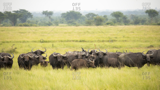 African Buffalo Herd Looks on in Refuge in Uganda